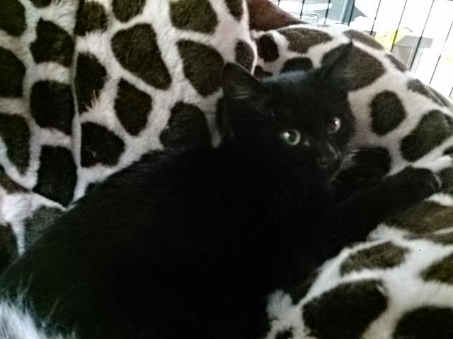里親様募集猫ベルフィットネス黒猫
