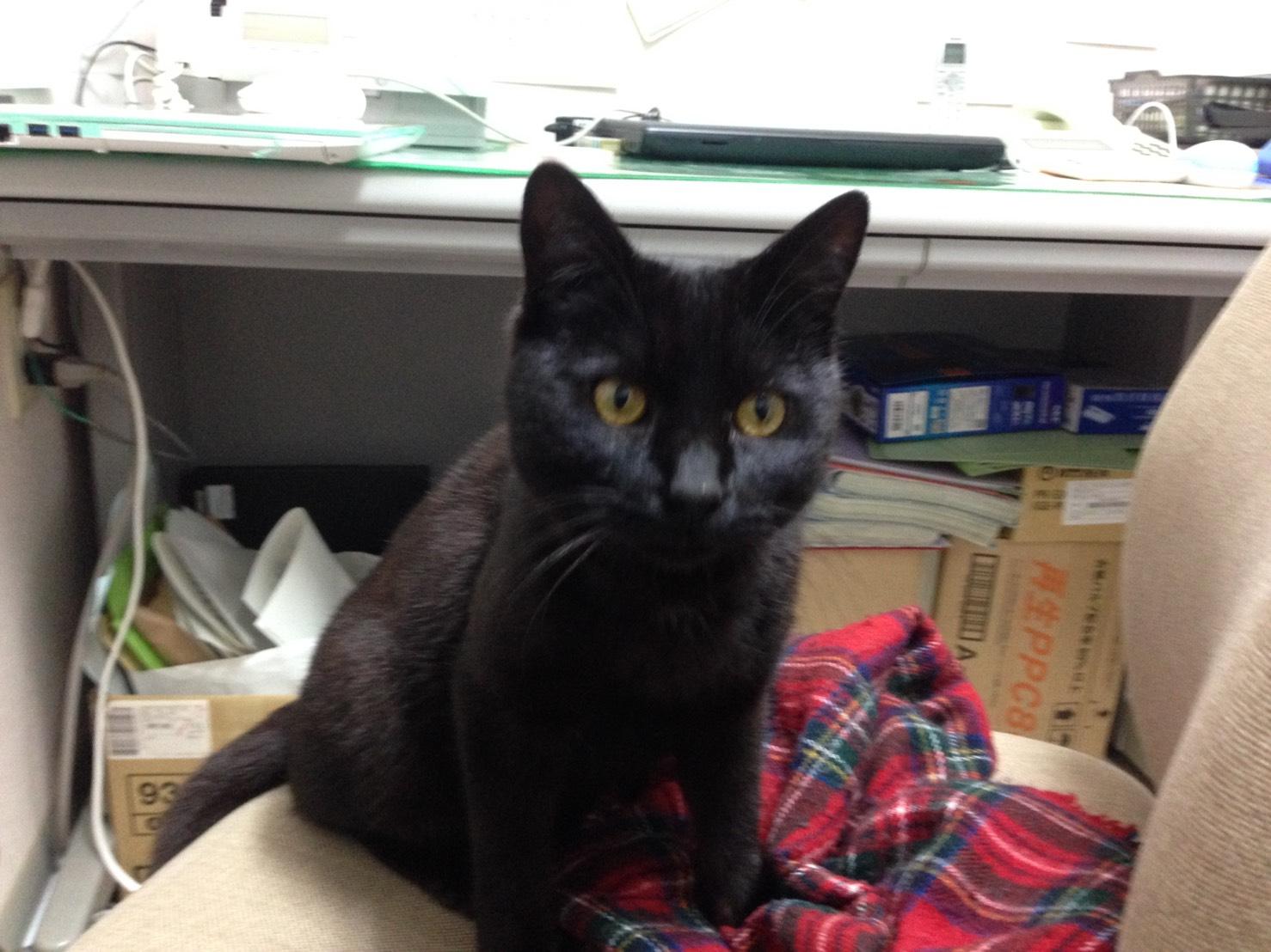 里親様募集 黒猫♂ 8ヶ月