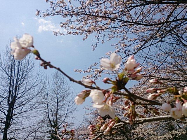勝山の桜は